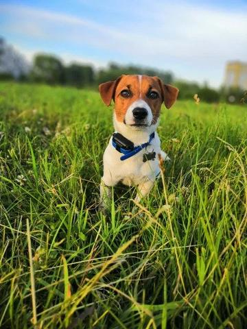 Dog Training Collar PRO